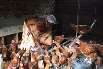 Sauda feeds chickens IJM helped her buy to support herself and her family.